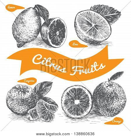Vector illustration black and white set with citrus fruits. Different sort of citrus fruits on white background