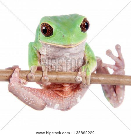 Trinidad Monkey Leaf Frog, Phyllomedusa trinitatus, isolated on white background