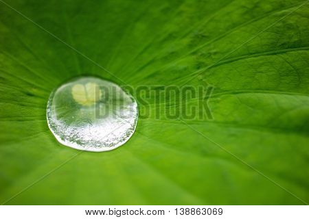 Close up water drop on green lotus leaf