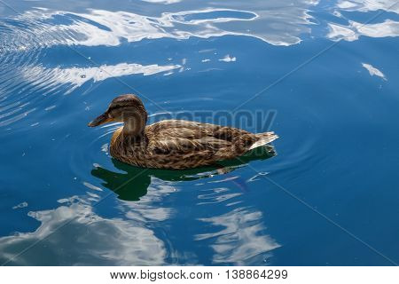 Graceful wild duck swim in blue water. Beautiful bird in its natural nature. Idyllic to the eye picture.