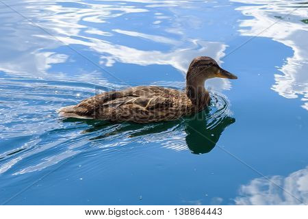Wild graceful duck swimming in the colorful water. Beautiful bird in its natural nature. Idyllic to the eye picture.