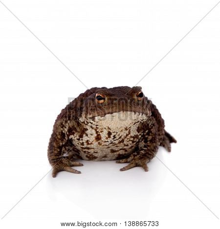 Bufo bufo. Common or European toad on white background