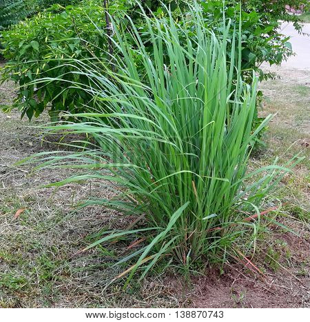 clump of tall, edible lemongrass growing in front of hot pepper bushes, Songkhla, Thailand