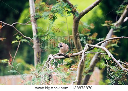 Eurasian Jay (garrulus Glandarius) Perched On A Tree Branch In Dutch Garden In Summer