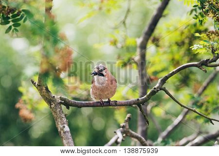 Eurasian Jay (garrulus Glandarius) Carrying Peanut Perched On A Tree Branch