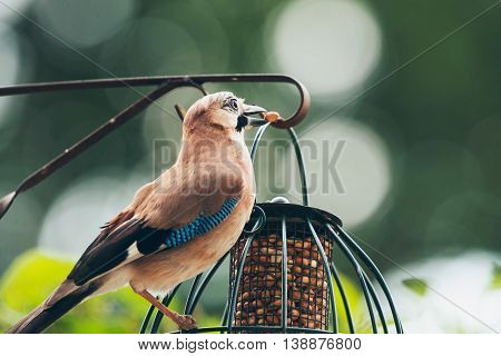 Eurasian Jay (garrulus Glandarius) Adult, Feeding From Hanging Feeder, Leiden, The Netherlands, June