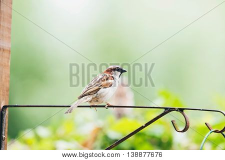 Male Tree Sparrow (passer Montanus) Perched On Iron Bar In Garden, Leiden, The Netherlands, June