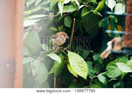 Eurasian Tree Sparrow (passer Montanus) Juvenile, Newly Fledged, Perched On Branch, Leiden, Zuid-hol