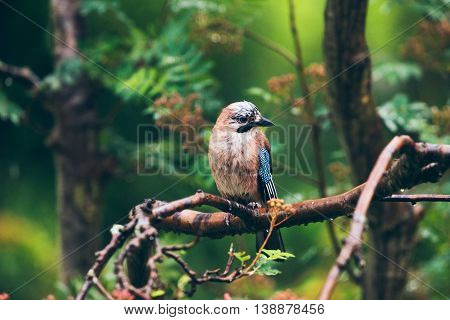 Eurasian Jay (garrulus Glandarius) Perched On A Branch In The Rain