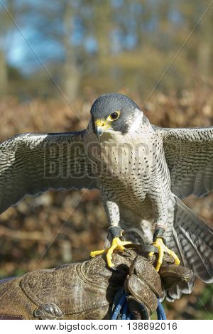 Trained Peregrine Falcon (falco Peregrinus), Used In The Sport Of Falconry, Stands Perched On The Tr