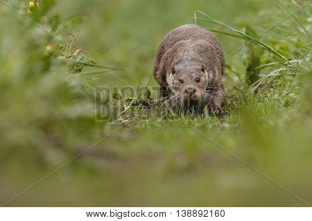 beautiful and playful river otter in the nature habitat in Czech Republic, lutra lutra