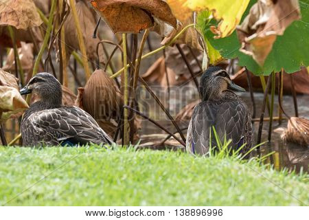 Pacific Black Duck, dabbling ducks, sitting on green grass near lotus pond during Autumn in South Australia. (Gallinula tenebrosa)
