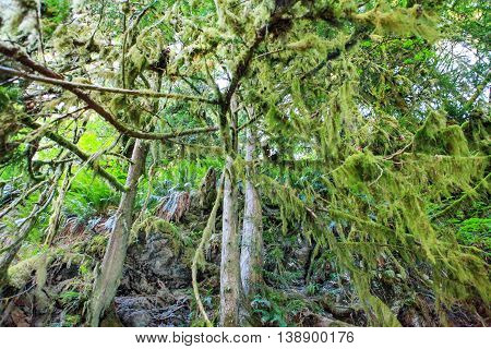 Mossy Tree Branches In Robe Canyon Historic Park