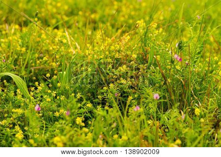 Multiple weeds growing among teh grass during spring