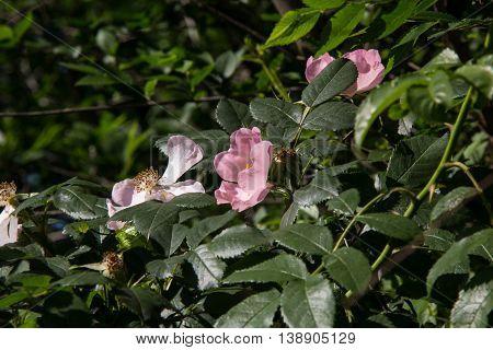White Rose Wild rose flower aka Rosa acicularis or prickly wild rose or prickly rose or bristly rose or Arctic rose or Rosa canina flower