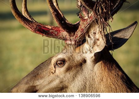 Red Deer big horn close-up beautiful picture