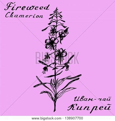 Willow herb, Chamerion, fireweed, rosebay hand drawn sketch botanical illustration. Vector drawing. Lettering poster