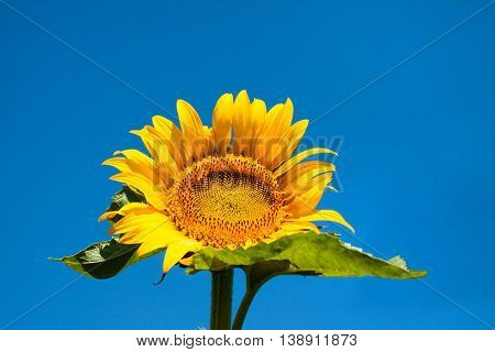 Ripe Sunflower On Field