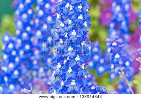 Delphinium Flower In The Garden