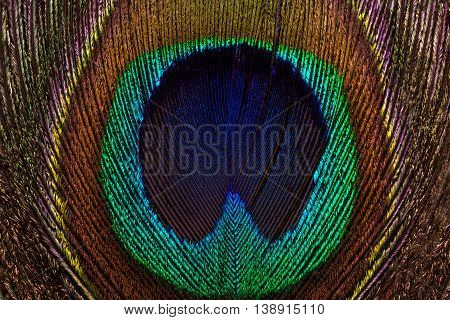 Horizontal background of peacock bright and colorful feathers close-up. Macro