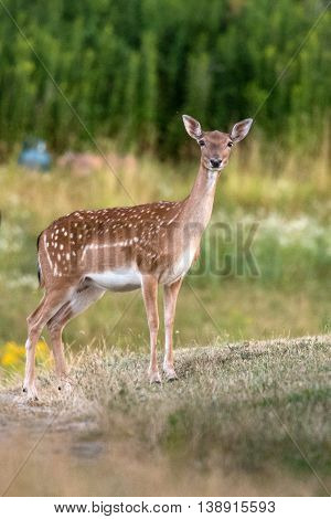 Fallow Deer At Night Isolated Looking At You