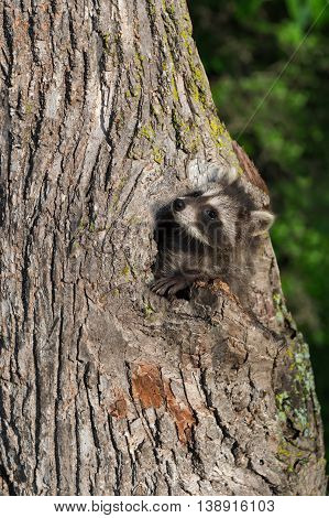 Young Raccoon (Procyon lotor) Gazes Up Tree - captive animal