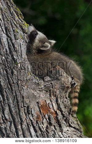 Young Raccoon (Procyon lotor) Tree Contortions - captive animal