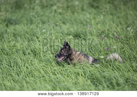 Fluffy dog in high grass at summer day