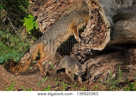 Grey Fox Vixen (Urocyon cinereoargenteus) Looks Into Log - captive animals