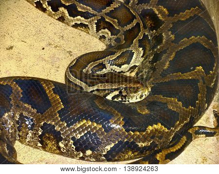 Snake, Burmese Python, Python Bivitatus, Beautiful Textured Skin 01