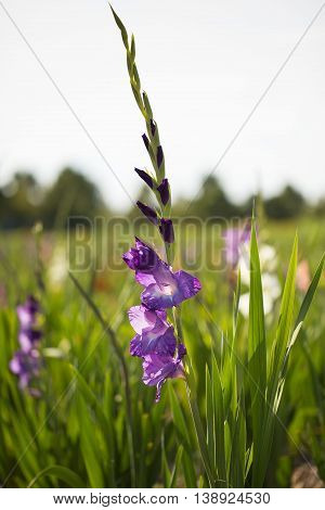 gladioli lila in the field in summer