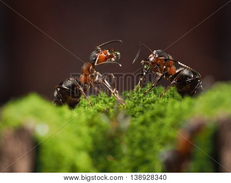 Two forest ants with water drops in the mandibles