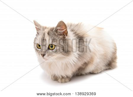 long-haired cat animal isolated on white background