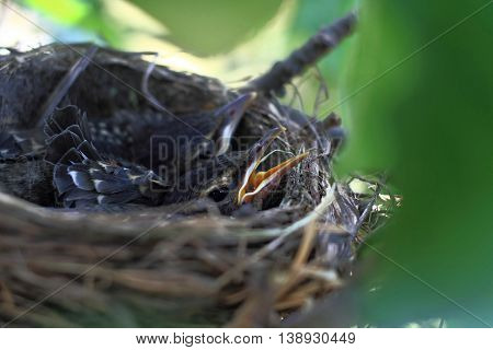 Grow up hatchlings of American Robin Bird in the nest over the apple tree during the early summer waiting to be fed up from their parents.