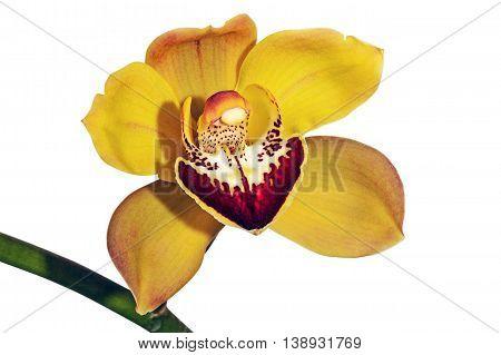 Studio shot of isoldated single yellow and magenta cymbidium orchid flower on green stem on white