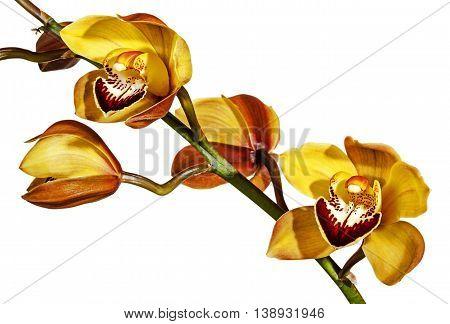 Stem Of Yellow And Magenta Cymbidium Orchid Flowers