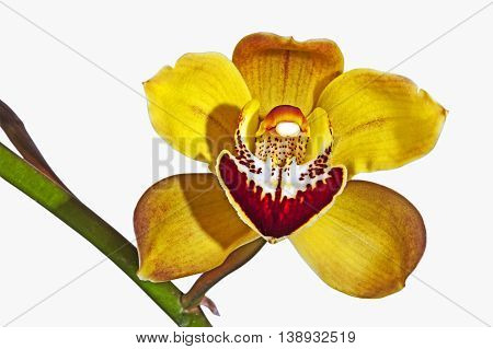Studio shot isolated single yellow and magenta cymbidium orchid flower on green stem on white