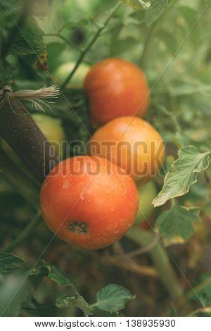 Homegrown organic tomato growing in vegetable garden selective focus