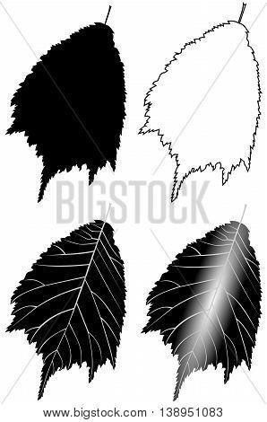 elm ,  isolated elm leaf , illustration elm leaf ,
