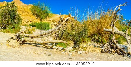 The broken dried tree next to the fresh spring surrounded by green reeds Ein Gedi Judean desert Israel.