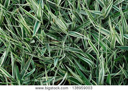 Sedge green grass close-up. Textural green background