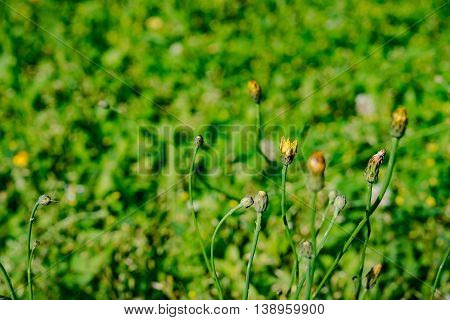 yellow flowers blooming in spring farm field