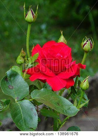 Primo piano di una rosa rossa fiorita con boccioli
