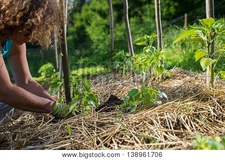 Covering young capsicum plants with straw mulch to protect from drying out quickly ant to control weed in the garden. Using mulch for weed control water retention to keep roots warm in the winter and cool in the summer.