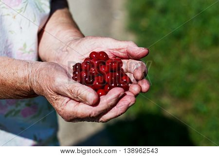 The harvest of cherries in the palms of the old man
