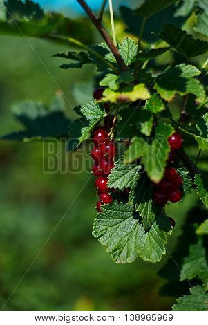 Lot of transparent red currant on a branch in the sun