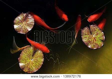 Goldfish and waterlily pads in backyard pond