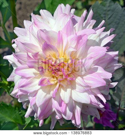Dahlia is a genus of bushy, tuberous, herbaceous perennial plants native mainly in Mexico. Related species include the sunflower, daisy, chrysanthemum and zinnia