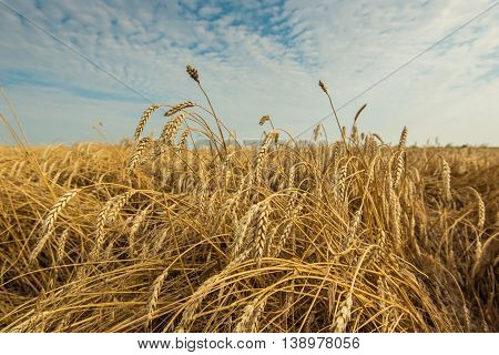 Photograhy of beautiful field with ripe wheat
