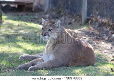 Female lion relaxing on a summer day